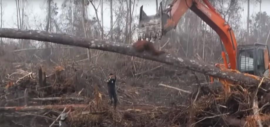 (video) Moment emoționat. Un urangutan luptă cu un buldozer încercând să-și salveze pădure în care trăiește