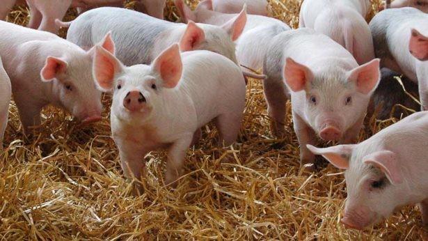 Locuitorii din Mereni riscă să rămână fără carne de porc. A izbucnit un nou focar de pestă porcină africană