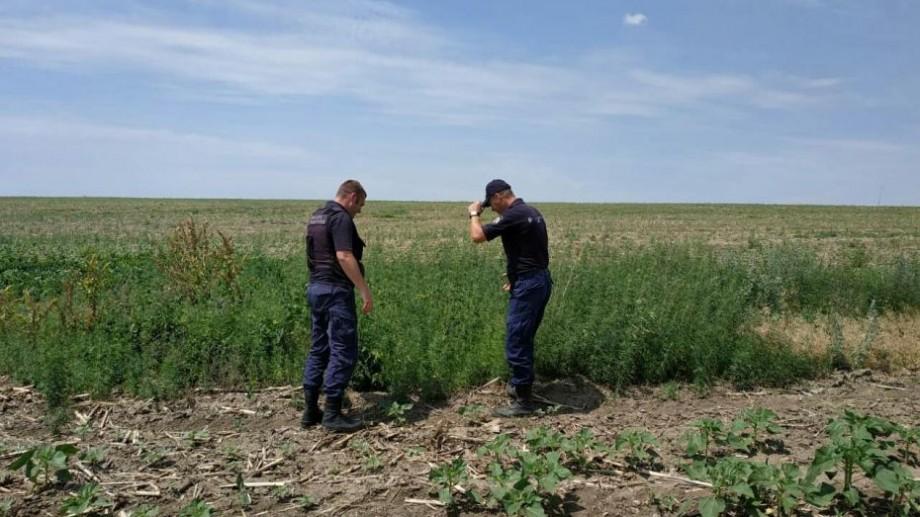 O plantație de cânepă a fost depistată într-un lan de floarea-soarelui. Cui aparține suprafața de pământ