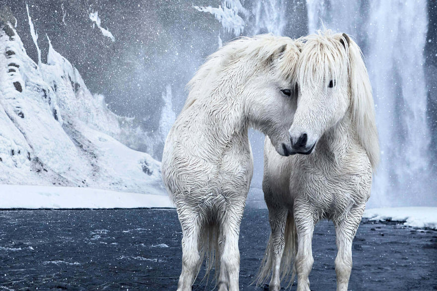 animal-photography-icelandic-horses-in-the-realm-of-legends-drew-doggett-15-5b5afbeb56a84__880