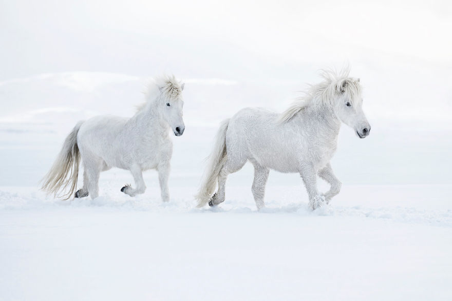 animal-photography-icelandic-horses-in-the-realm-of-legends-drew-doggett-25-5b5afbff3a5ee__880