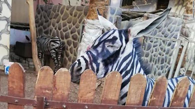 (foto) O nouă iluzie optică: măgar sau zebră? Angajații unei grădini zoologice au pictat un măgar pentru a-l face să pară zebră