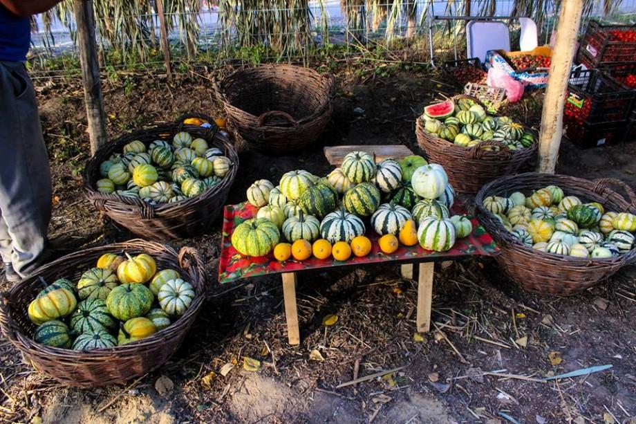 (video) Dovleci plăcintari și decorativi. Agricultorul, Vasile Spânu, povestește cum să crești un dovleac de 300 de kg