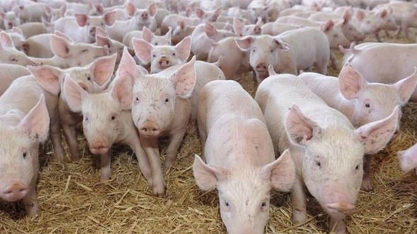 China a interzis importurile de porci şi produse din carne de porc din Republica Moldova