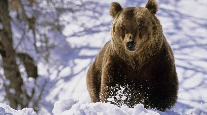 Nu au intrat nici în acest an în hibernare. Un urs s-a plimbat ore în șir pe străzile din Brașov, la gară și la mall