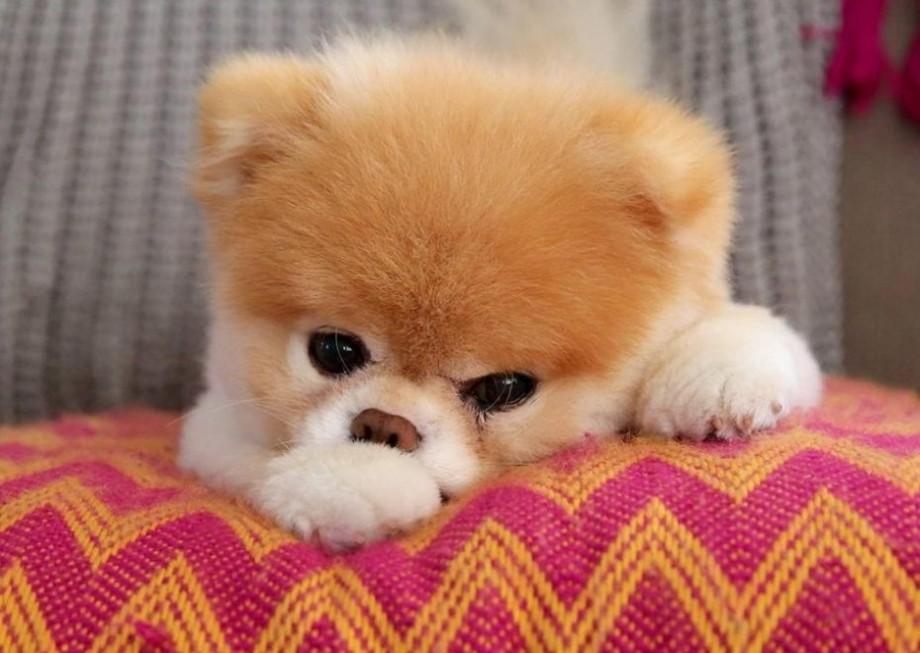Boo, cel mai îndrăgit cățel din lume, a murit la vârsta de 12 ani. Avea 17 milioane de fani pe rețelele de socializare