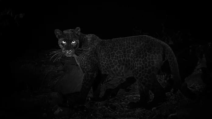 (foto) Pentru prima dată în 100 de ani, un leopard negru a fost fotografiat în Africa. Cum arată felina