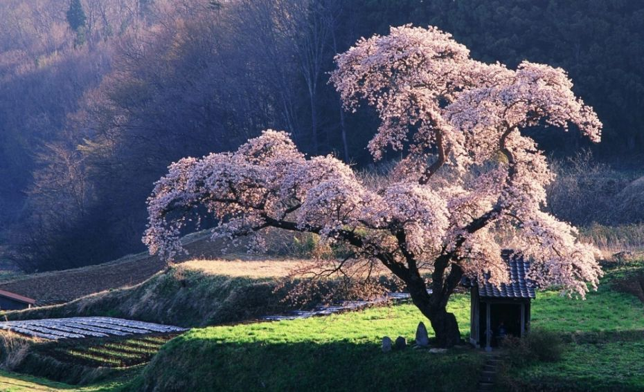 606155-4391155-R3L8T8D-1000-spring_in_japan-wallpaper-1920x1200-1000-7e267999f0-1484645307