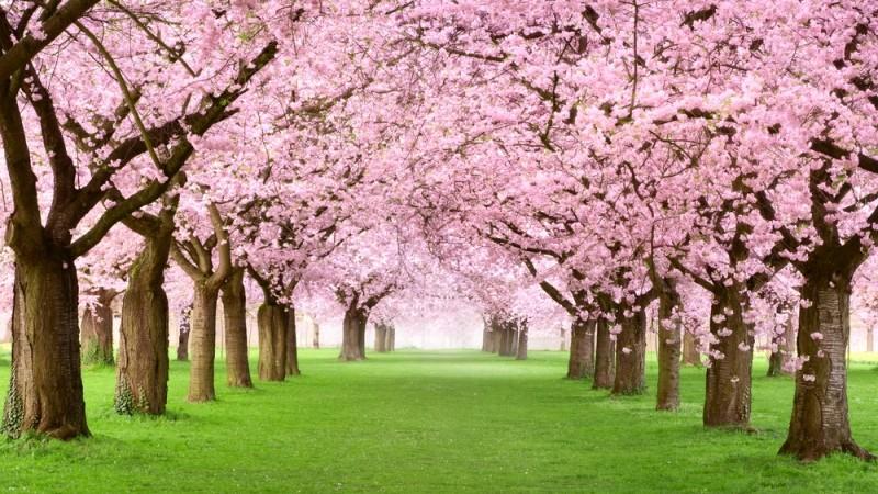 """Mai mulți pomi de Sakura vor fi sădiți în parcul """"Valea Morilor"""""""