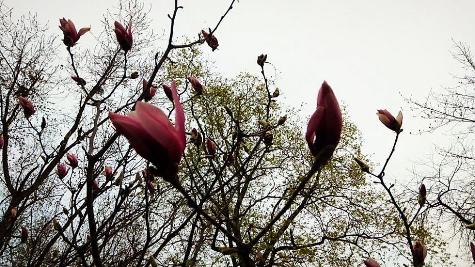 magnolia9
