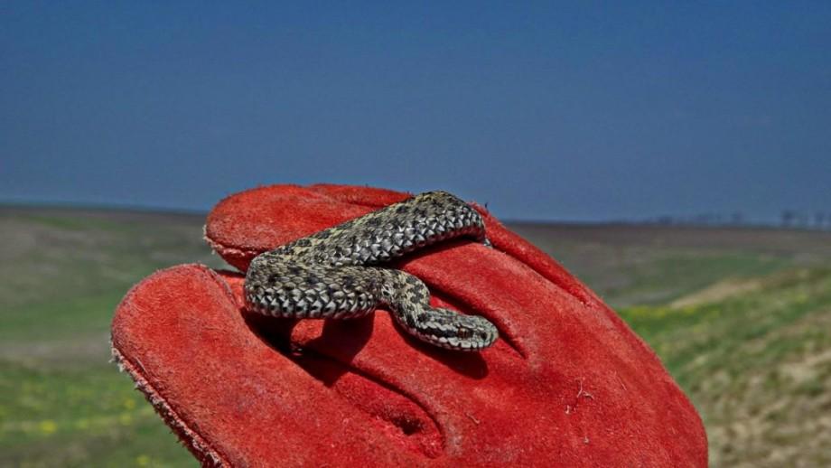 Ce specii de șerpi sunt în Moldova și cum să reacționăm când îi vedem în cale