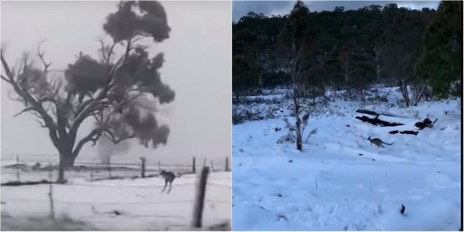 """(video) """"Canguri de zăpadă"""". Într-un stat din Australia a nins pentru prima dată în ultimii 20 de ani"""