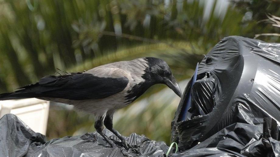 Șase ciori au fost angajate într-un parc tematic francez. Păsările urmează să contribuie la colectarea gunoiului
