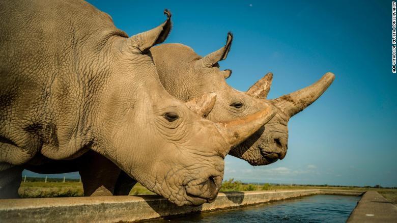 Oamenii de știință au creat cu succes doi embrioni de la ultimii rinoceri albi nordici rămaşi în lume