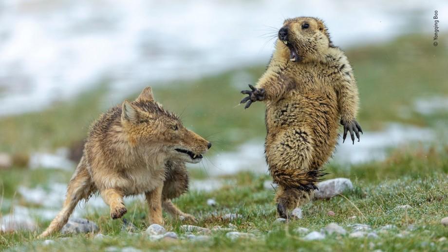 """(foto) Fotografia """"întâlnirii"""" dintre o vulpe și o marmotă a fost desemnată câștigătoare a concursului Wildlife Photographer 2019"""