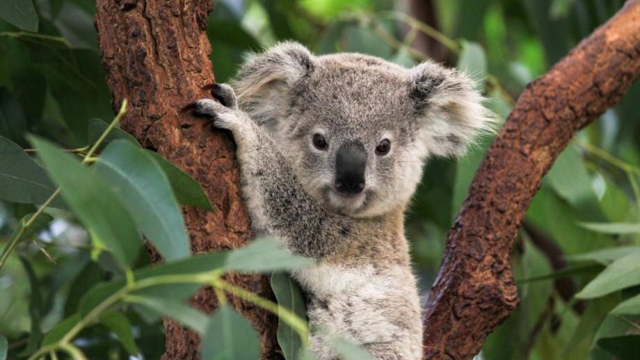 Mai multe specii de animale, printre care și koala, au fost incluse în lista speciilor care au nevoie de ajutor urgent după incendiile din Australia
