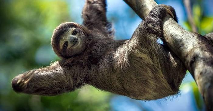 De ziua mondială a leneșului, cel mai bătrân mamifer din lume ar putea fi inclus în cartea recordurilor