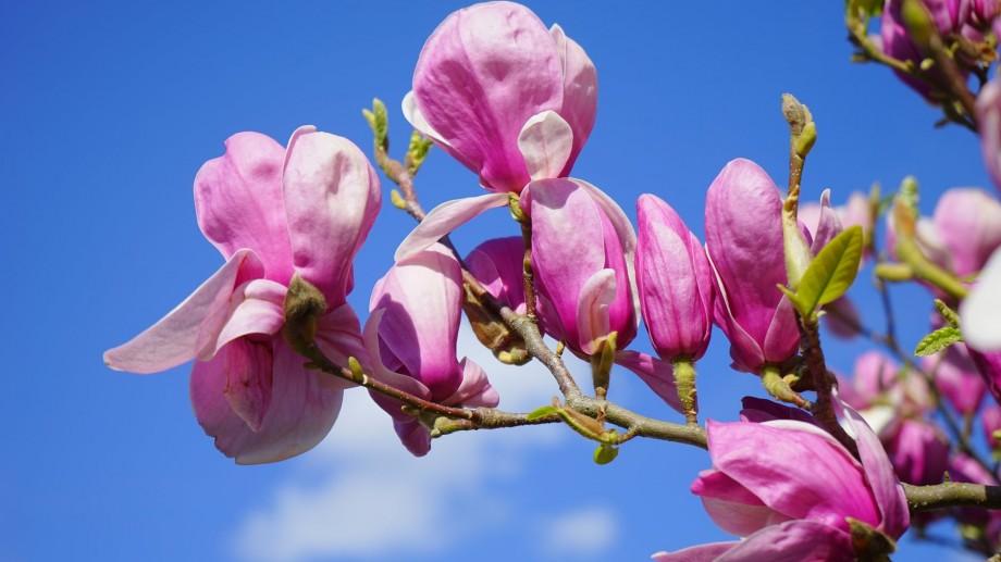 Mai multă culoare pentru vizitatori. În Grădina Botanică va apărea o alee de magnolii