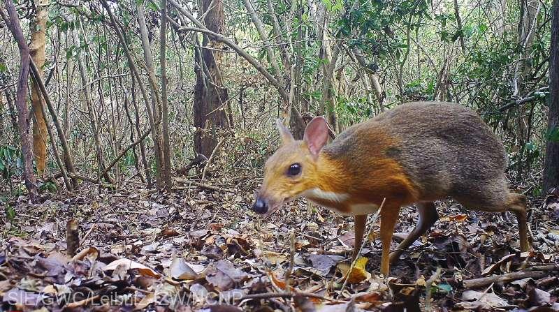 O specie de cerb pitic, considerată dispărută de 25 de ani, a fost găsită în Vietnam