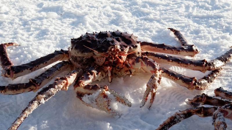 Un crab de zăpadă a fost vândut la o licitație din Japonia la prețul record de 41 600 de euro