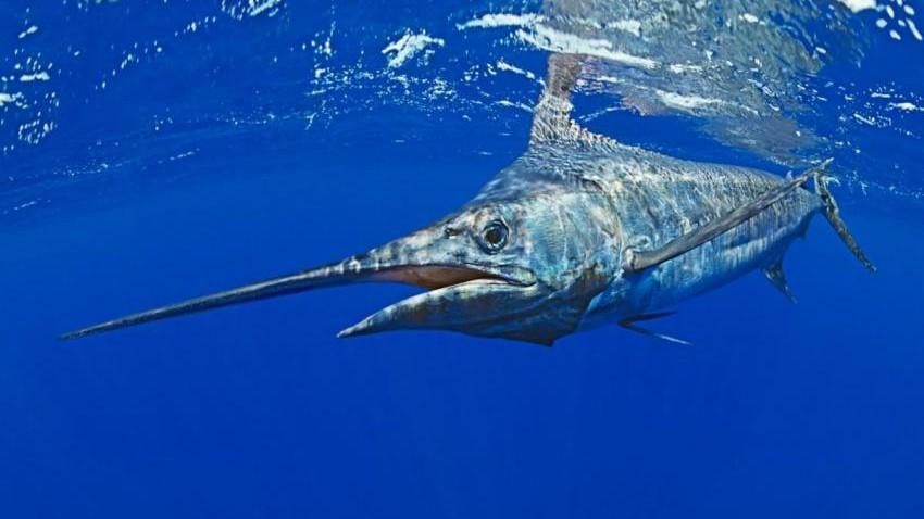 (studiu) Oceanele rămân fără oxigen. Care sunt cele mai amenințate specii de pești