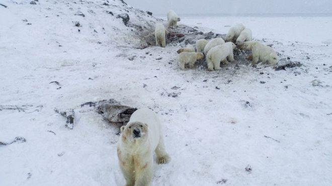 (video) Circa 50 de urşi polari au invadat un sat din nordul Rusiei. Toate activitățile publice au fost amânate, iar școlile sunt păzite