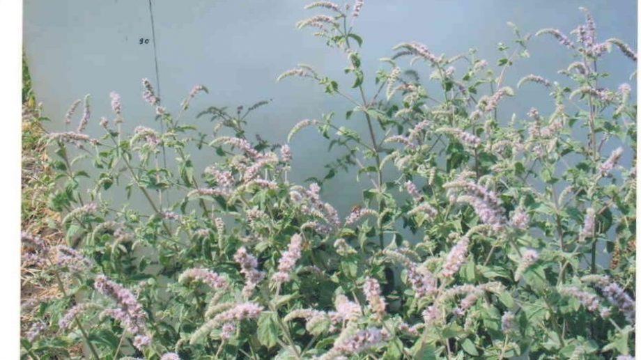 Noi soiuri de mentă şi plante medicinale ale cercetătorilor de la Universitatea de Stat din Moldova