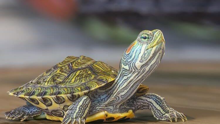Ai o țestoasă? 500+ nume pentru broscuța ta jucăușă