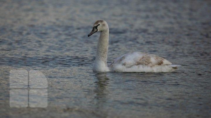 """(foto) """"Trece lebăda pe ape…"""" Pe lacul Valea Morilor a fost observată o lebădă"""