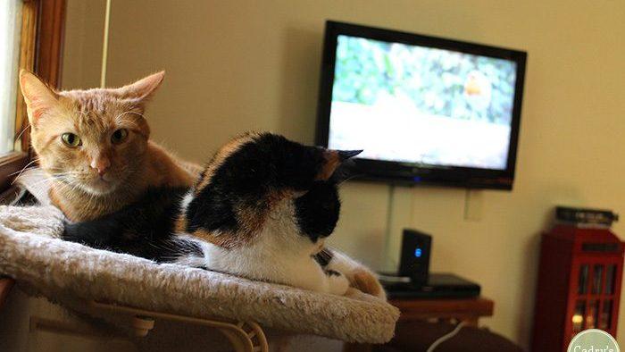 Pisicile vor avea propria platformă TV. Acestea vor putea urmări peștișori aurii, păsărele, cărăbuși sau șoricei