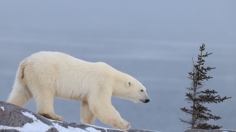(hartă) Șapte lucruri pe care nu le-ai știut despre urșii polari, mamiferele din zonele nordice înghețate ale Oceanului Arctic