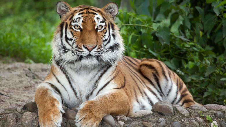 Un tigru de la o grădină zoologică din New York a fost testat pozitiv cu coronavirus