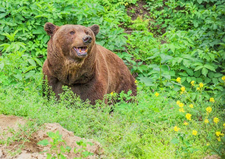 (foto) Ursul brun de la Grădina Zoologică din Chișinău a fost mutat într-o volieră mare. Cum s-a adaptat acesta