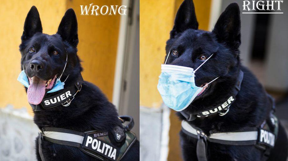 """(foto) """"Dacă Șuier poate, putem și noi!"""" Un cățel de frontieră ne învață cum să purtăm corect masca"""